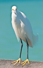 Front View, Close Distance Of A Snowey Egret Standing On A Wood Railing On A Pier, Jutting Into Tropical Waters, Waiting For A Food Handout, From Tourists