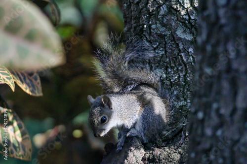 Fototapeta premium Baby Squirrel