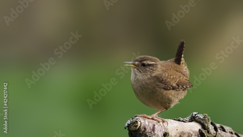 Valokuva A small Wren songbird lifts his tail feathers and performs a mating dance