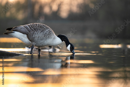 Billede på lærred Beautiful Canadian Goose drinking from lake at sunset during golden hour sunshine sun light shining reflecting on river water at nature reserve reservoir