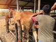 canvas print picture - artificial insemination of cow, insemination gun,  Animal propagation.
