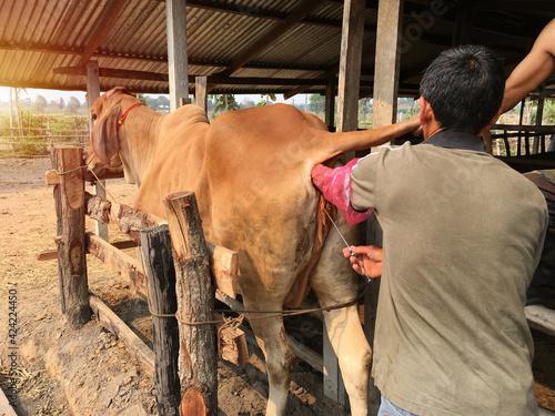 Fotografie, Tablou artificial insemination of cow, insemination gun,  Animal propagation