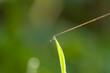 Rosa na trawie kropelki w słońcu - refleks
