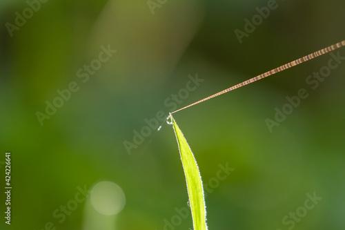 Fototapeta Rosa na trawie kropelki w słońcu - refleks obraz