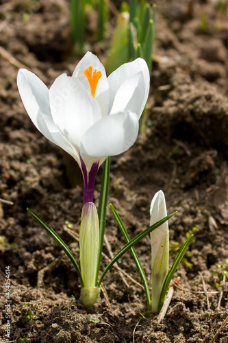 Obraz na plátně One of the first flowers in a spring garden is a white crocus flower with a bright orange pistil and thin green leaves
