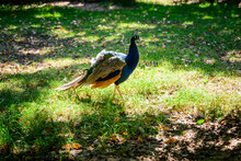 Pavo Cristatus - Male Peacock On The Lawn.