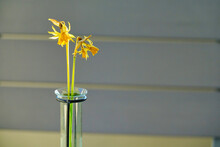 Two Dried Yellow Daffodil Flowers In A Test Tube Vase