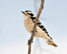 Woodpecker Stock Photos. Close-up Profile View Female Bird Perched On Tree Branch And Displaying Feather Plumage In Its Environment And Habitat In The Forest With A Blur Background. Image. Picture.
