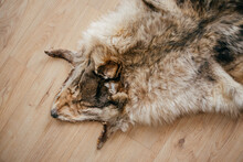 Tanned Wolf Skin Lies On The Wooden Floor