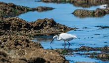 Vendée, France; March 28, 2021: A Small Egret Hunts In The Reefs Of Saint Hillaire De Riez.