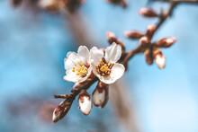 Magnolia Blossom In Spring