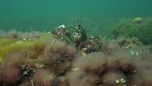 Lobsters Walking On Ocean Floor