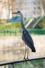 Portrait Of Heron Standing Pn Metallic Fence In Border Water In The City