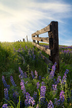 Blooming Lupine Fence Line In The Sun Dalles Mt Ranch Columbia Hills Historical State Park