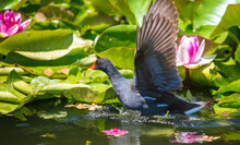 Wading Bird On Water Lily Flowers.