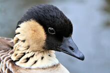 A Close Up Of A Hawaiian Goose