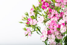 Pink Sweet William Flower Isolated On A White Background.