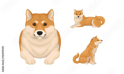 Obraz Shiba Inu as Breed of Hunting Dog from Japan in Different Poses Vector Set - fototapety do salonu