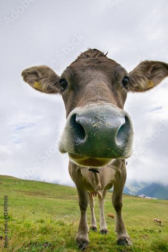 cow on a meadow (Gargellen, Vorarlberg, Austria)
