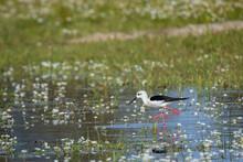 Black-winged Stilt (Himantopus Himantopus). Bird In Its Natural Environment.