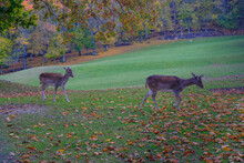 Two Fallow Deer Running Through The Autumn Alley Covered With Fallen Leaves. Autumn Wildlife Nature.