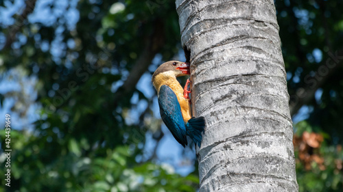 Obraz na plátne Stork-billed Kingfisher bird in action, peeking inside the nest created by a woo