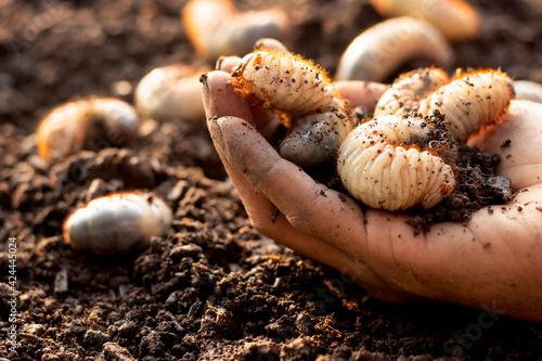 Fotografia Many beetles in the hands of a farmer man, fertile soil.
