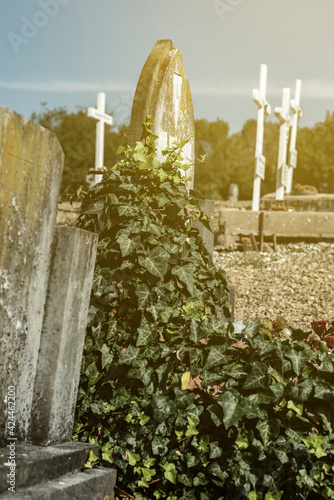 Tombstones overgrown with ivy in a cemetery on a sunny day. Wall mural