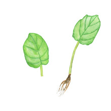 Two Leaves Of African Violet With Root Isolated On White Background. Watercolor Hand Drawing Illustration. Saintpaulia. Cultivation Of Home Plant.