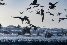 Pelican Birds Diving Into Ocean Silhouette Sunset