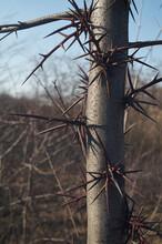 Huge Thorns On The Trunk Of The Gleditsia Tree