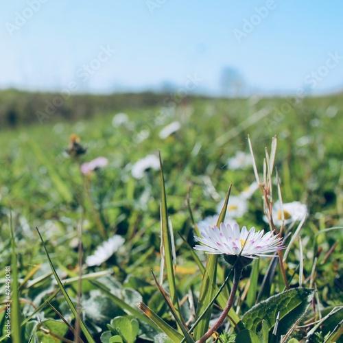 Canvas Jolie fleur, petites pâquerettes prenant un bain de soleil dans le jardin, au premier rayon du printemps