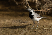 White Wagtail Perched On Ground At Hamala, Bahrain