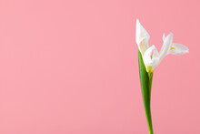 Delicate White Bud Of Iris Flower On Pink Solid Background With Copy Space. Studio Romantic Shot.