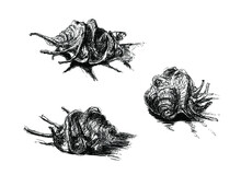 Vector Ink Sketch Of Three Shells