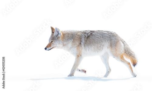 Foto Coyotes