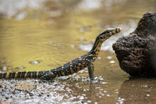 Asian Water Monitor Standing At The Edge Of A River, Indonesia
