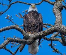 Bald Eagle Perched In A Gary Oak Tree, Canada