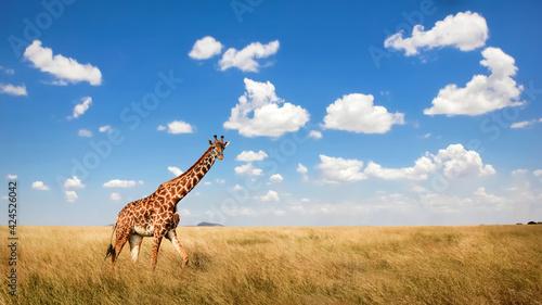 African giraffe in the savannah. Africa. Tanzania. Serengeti National Park.