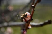 A Bee On A Cherry Blossom In The Spring