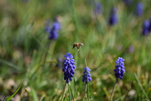 Grape Hyacinth With Bee In Flight