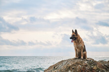 Beautiful Dog Sitting High And Posing, Walking Outdoors In Nature. German Shepherd Of Black And Red Color Of Breeding Show Sits On Large Stone Against Background Of Blue Sea And Cloudy Overcast Sky.