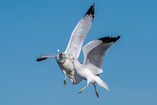 Sea Gulls Fighting In Flight