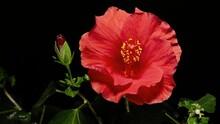 4k.Red Hibiscus Flower Blooming Opening