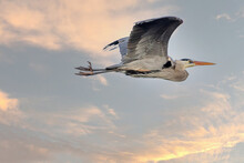 Mississippi River Rookery - Great Blue Heron In Flight