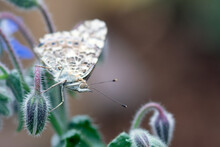 American Lady Butterfly Resting On A Small, Fuzzy Plant With Purple Flowers.