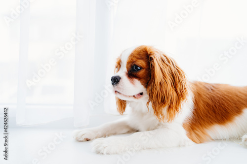 Fotografie, Obraz Cavalier King Charles Spaniel - a breed of companion dogs on the windowsill
