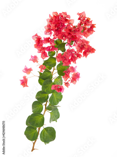 Fotografija Pink blooming bougainvillea on white background isolated