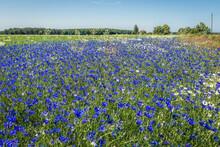 Blue Conflowers On A Meadow Near Modlimowo Village, Zachodniopomorskie - West Pomerania Region Of Poland
