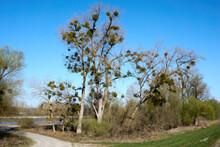 A Beautiful Mistletoe Tree Under Blue Sky